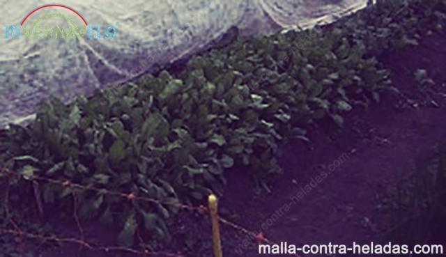 Instalación de la cubierta flotante en los cultivos.