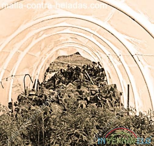 Cultivos protegidos por el túnel invernavelo.