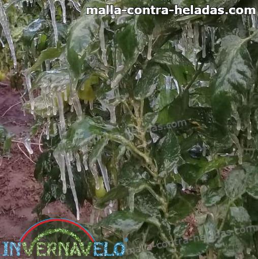 plantas congeladas por extremas heladas