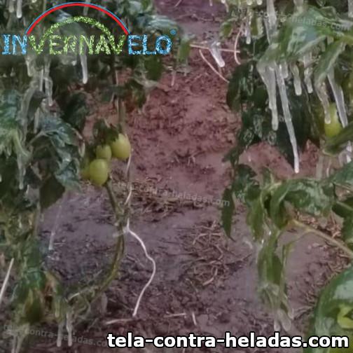 plantas dañadas y congeladas por heladas
